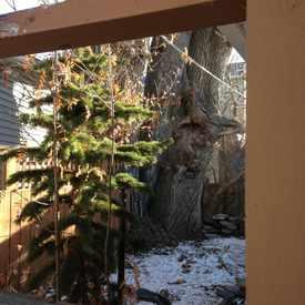 Photo of Griffin Poplar Heritage Tree