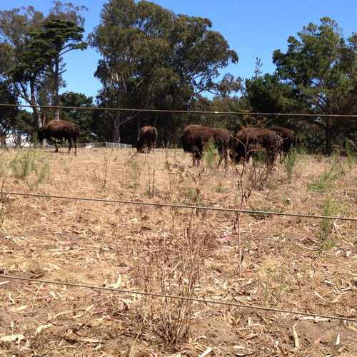 photo of Bison Paddock at 1299 John F Kennedy Dr San Francisco CA 94121
