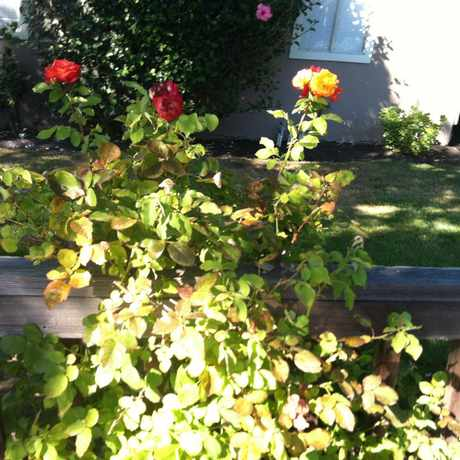 Photo of Smell the roses in Midtown Palo Alto, Palo Alto