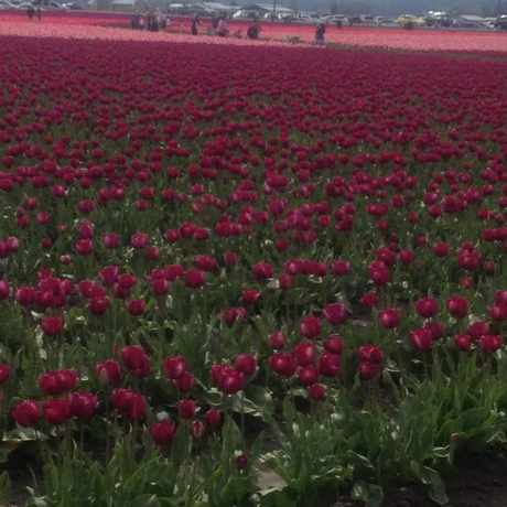 Photo of Skagit Valley Tulip Festival in Mount Vernon